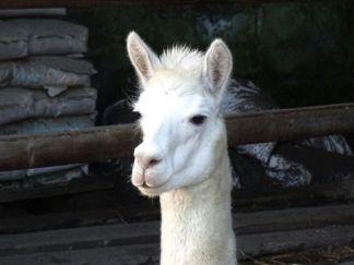 Kimbo is noticeably part Llama part Alpaca.
