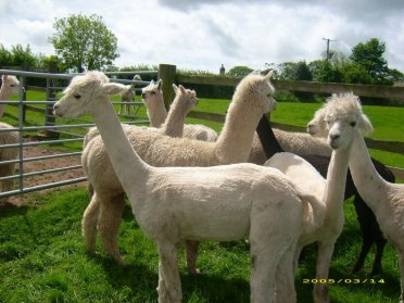 Our first 4 Alpacas before we collected them