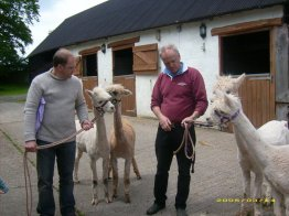 Our first 4 Alpacas