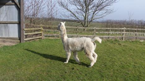 Kimbo prancing around the paddock