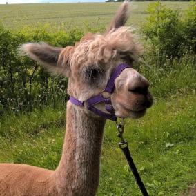 Ambo is our only fawn Alpaca