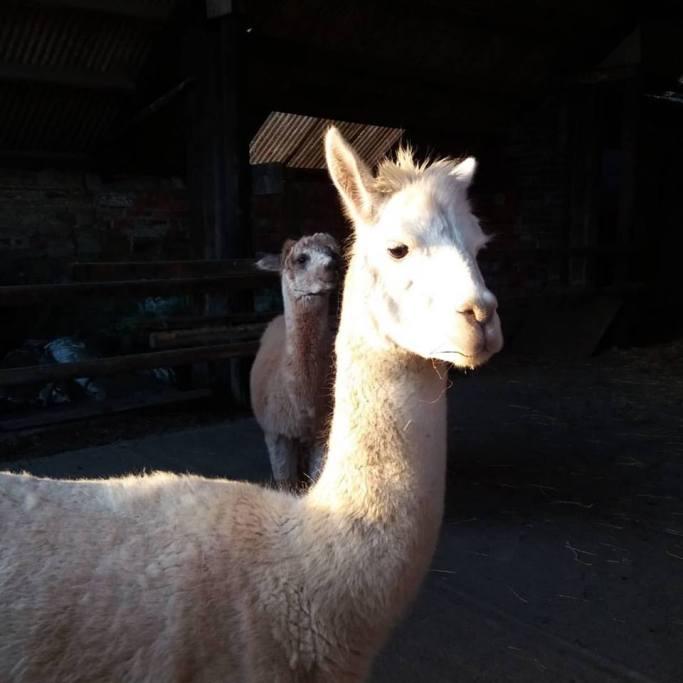 Kimbo in the barn