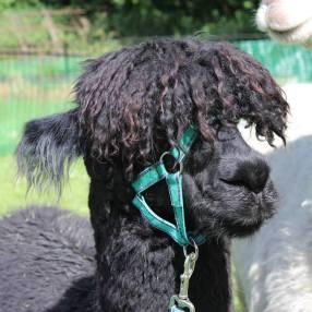 Alpaca fleece has a sheen or lustre to it (Bruno)