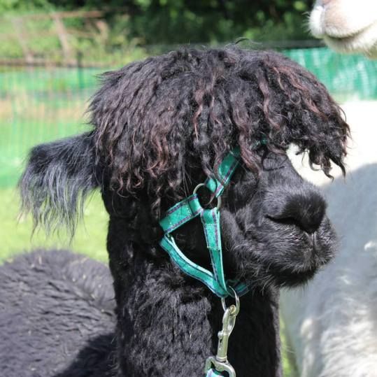 Alpaca fleece has a sheen or lustre to it (Bruno)