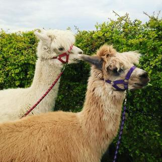 Huacaya Alpacas (Nelson and Ambo)