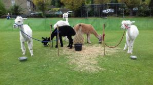 We have black, white and fawn Huacaya Alpacas