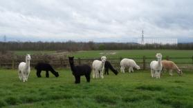 Before shearing