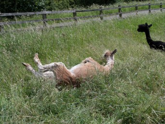 Ambo rolling in the grass