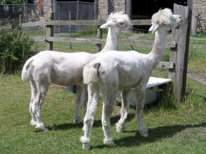 After shearing